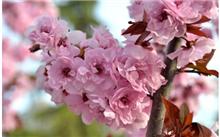 区分紫叶李和美人梅的方法