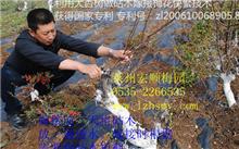 杏树嫁接技术