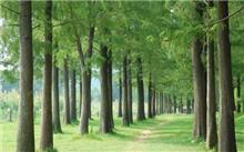 水杉的栽培技巧