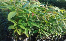 金丝楠木栽培和繁殖方法