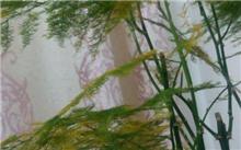 冬天怎样防止文竹叶黄