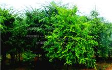 红豆杉种植技术