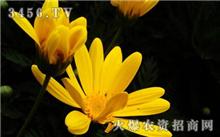 如何防治金盏菊的病虫害