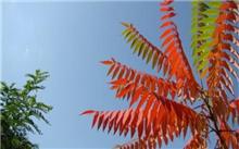 树种介绍火炬树