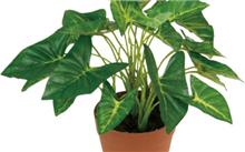 马蹄莲盆栽技术