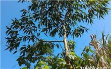 尾叶桉主要病虫害防治