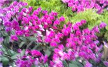 首届泰山国际兰花节开幕上千品种兰花亮相