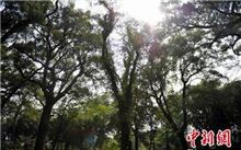 江西:乐安万棵古樟树聚成罕见千亩林
