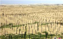 新疆:且末县以产业化方式绿化沙漠