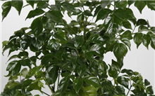 """绿萝,吊兰,幸福树......初秋的花卉市场绿叶植物,起到了关键作用。 """""""