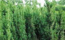 蒲城:种植红豆杉万英亩
