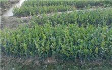 贵州省4年完成新造油茶林56万亩