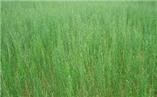 新疆且末第一成功种植梭梭苗