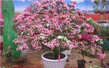 湖南:杜鹃森林植物园中央政府推广新品种