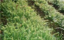 杉木叶枯病防治方法