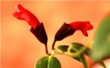 口红花叶斑病的症状和预防