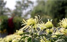 山东省国家菊花价格行情,最新的全国菊花价格查询2013年9月11日