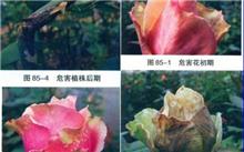 玫瑰灰叶斑病病的症状及预防