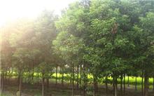 江西大叶香樟苗木价格行情,最新的大叶樟树苗价格检查2013年9月21日