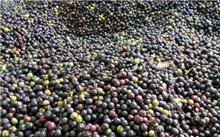 江西樟树种子价格行情,最新的樟树种子价格查询2013年9月22日