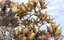 江西香椿种子价格行情,最新的香椿种子价格查询2013年9月22日