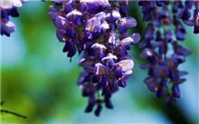 紫藤养殖方法