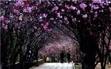 云南:新平年底前的10000棵樱花树种植