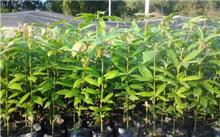 金丝楠木栽培学与耕作方法