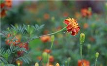 金盏菊,菊花叶病的防治方法