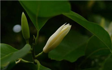 白兰花的病虫害防治方法