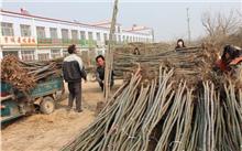 """山东惠民皂户李镇""""邂逅""""苗木产业转型和发展的主动权"""