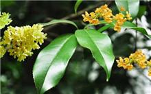 赣州:桂花行业协会功能的花木基地交流活动