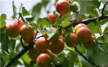 新疆:加快特色林果业转型升级
