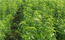 山东省计划完成3年种植300亩