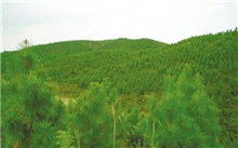 广西:广西贺州市平涂成绿色经济林业的可持续发展