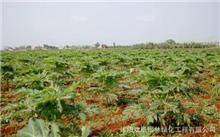 江苏:沭阳建种植在北方最大的养殖基地海棠苗