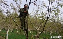 春季修剪核桃树3