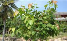 菩提榕苗病虫害防治方法