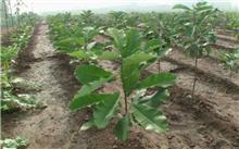 厚朴种植养殖
