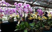 福建:台湾成为南京兰花种植兰花销售出去以合作的方式来致富