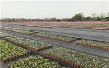 河南:民权县苗木花卉产业实现规模化发展