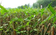 竹栽培技术