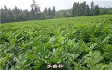 水曲柳育苗及种植技术