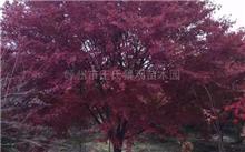 鸡爪槭最新的浙江2014年9月22日的价格信息