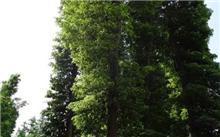 四川:泸州市合江县金丝楠木成功引进名贵树种