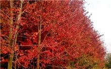 美国红枫养护管理中的变色