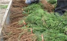 侧柏的特征特性及栽培技术