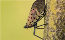 香椿树斑衣蜡蝉的虫害防治方法