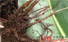 丹桂的根结线虫病防治方法
