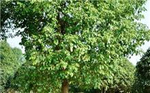 香樟树的快速繁殖方法